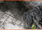 Encontra-se desaparecida esta cachorrinha que souber entra em contato gratifica-se, ela desapareceu no bairro Pedreira