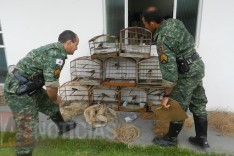Policia de Meio Ambiente apreende pássaros, armas munições na localidade rural de Terra Branca