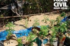 Polícia Civil apreende 40 pés de maconha em zona rural de Divinópolis