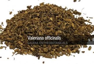 Valeriana - eficaz para insônia, ansiedade, estresse e perda de peso